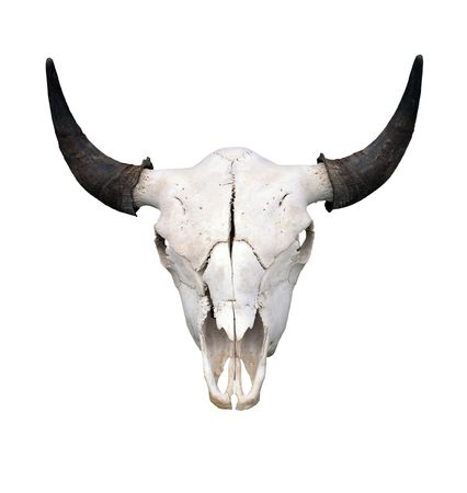 animal skull: Bull Skull  Stock Photo