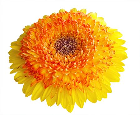 Bright coloured gerbera taken at an angle Stock Photo - 2939593