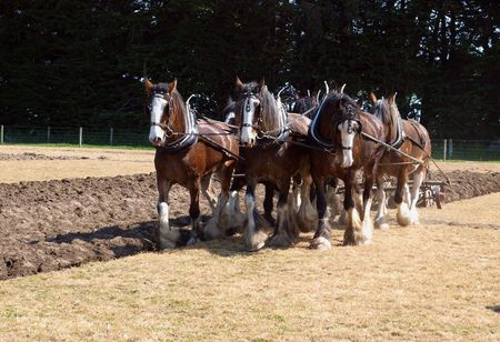 sprayed: Six Horse Clydesdale Team Ploughing in a Sprayed Field