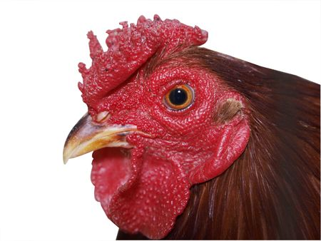 Red Rooster with Rose Comb Stock Photo - 3752038