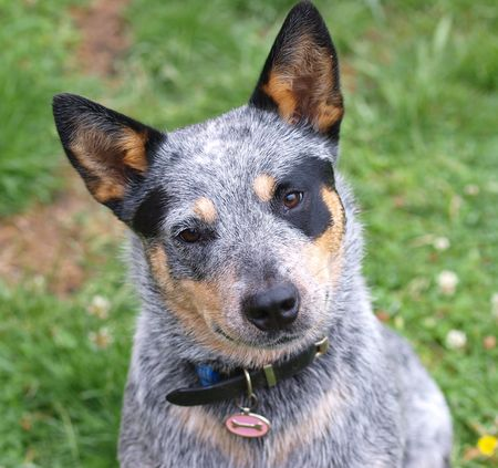 dog tag: Australian Cattle Dog with Black Eye Patch