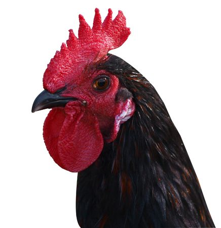 Rooster with Red Comb isolated with path Stock Photo - 4261841