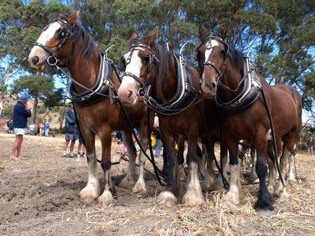 clydesdale: Six Horse Team waiting to continue ploughing       Stock Photo