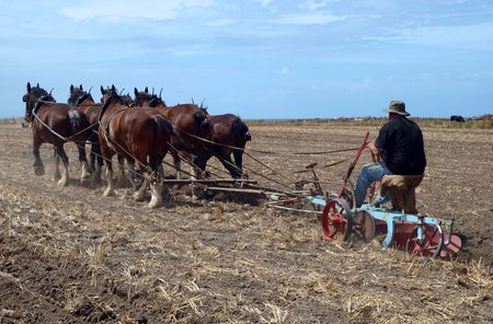 plows: An Oldtimer Ploughing the Field with a Six Horse Team of Clydesdales