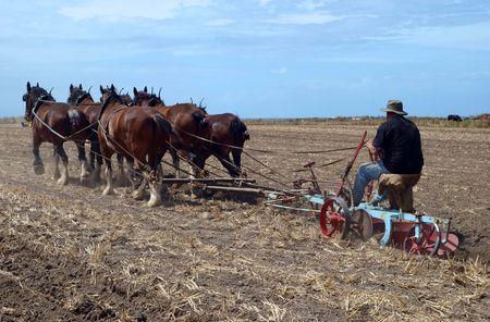 ploegen: Een Oldtimer te ploegen en het veld met een Team van zes paard van Clydesdales