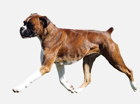 Brindle Boxer isolated with path