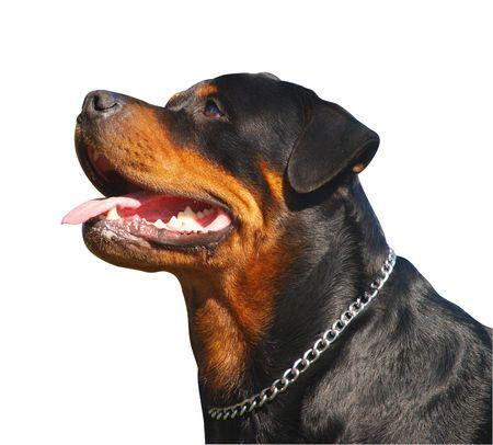 quizzical: Retrato de un Rottweiler Happy        Foto de archivo