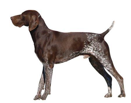 pointer dog: German Shorthaired Pointer Stock Photo