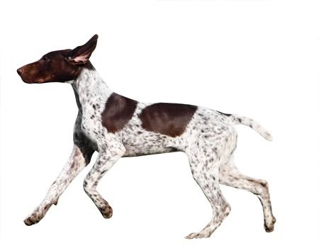 German Shorthaired Pointer Stock Photo - 4655734