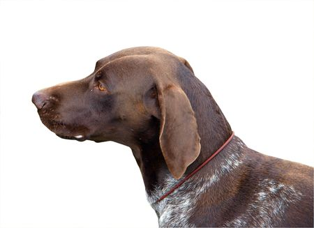 German Shorthaired Pointer Stock Photo - 4655723