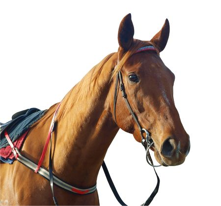 reins: Chestnut Racehorse isolated