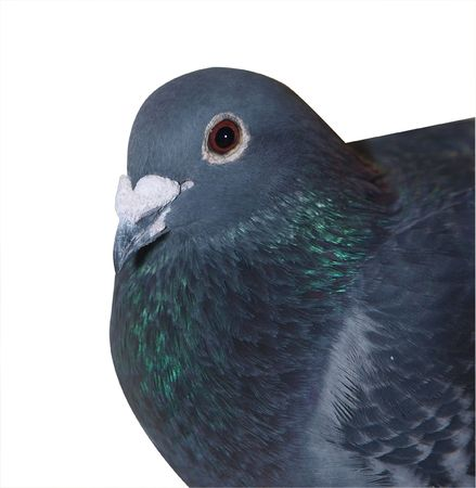 homing: Homing Pigeon isolated