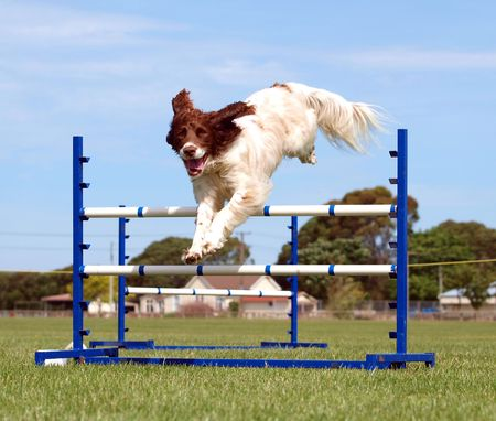 conformation: Spaniel competing in an agility competition