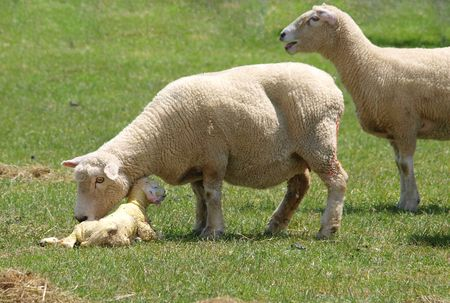 lambing: A ewe inspects her newborn lamb 6 minutes after the birth         Stock Photo