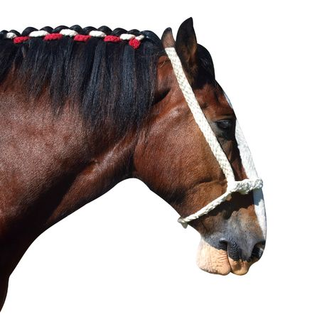 clydesdale: Clydesdale Profile