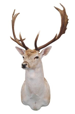 12 Point Fallow Stags Head isolated   Stock Photo