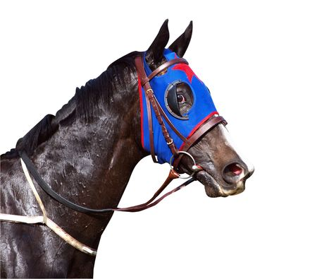 blinkers: Sweaty Racehorse with Flared Nostrils