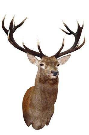 stag horn: 14 Point Sika Stags Head