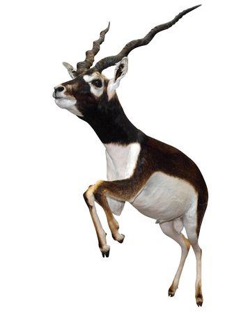 springbok: Male Springbok (Antidorcas marsupialis)