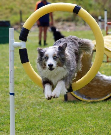 grooming dog: Tricolor Merle Border Collie jumping through a hoop        Stock Photo
