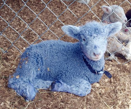 Blue lamb with collar in a pen      photo