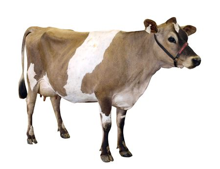 halter: Jersey Cow with Halter isolated