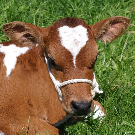 red heifer: Ayrshire ternero sobre c�sped verde
