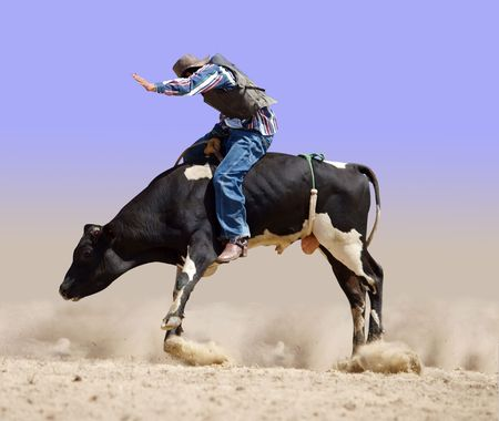 Cowboy Riding a Fresian Bull  Stock Photo