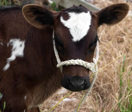 halter: Brown & White Calf with a Rope Halter