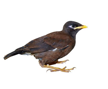 and distinctive: Juvenile Indian Mynah Stock Photo