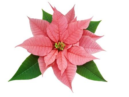 Poinsettia (Euphorbia pulcherrima )