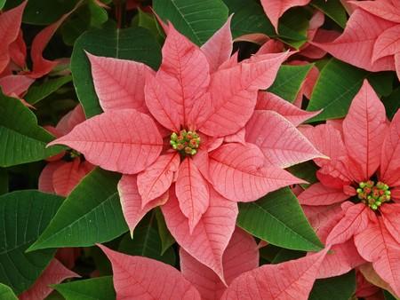 pulcherrima: Poinsettia (Euphorbia pulcherrima) fare un display di rosso e verde
