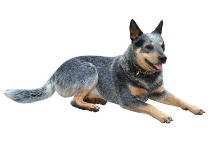 bitch: Australian Cattle Dog isolated