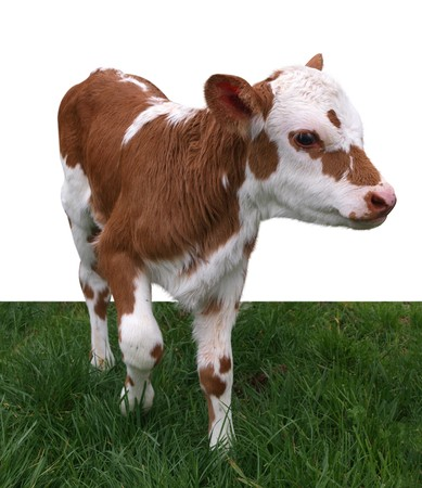 Ayrshire Hereford Cross Calf isolated