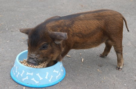 dirty dishes: A New Zealand Kune Kune piglet eating pellets from a dish Stock Photo