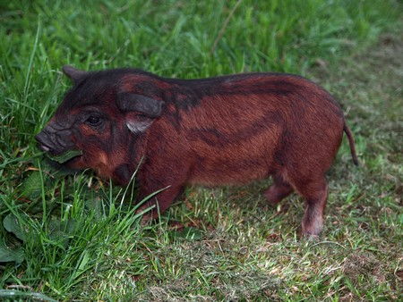 A New Zealand Kune Kune piglet eating Grass photo