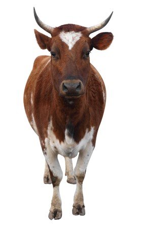 red heifer: Ayrshire Cow with Horns isolated