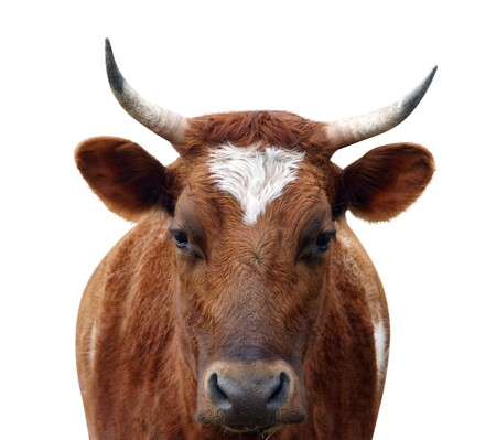 Ayrshire Cow with Horns isolated
