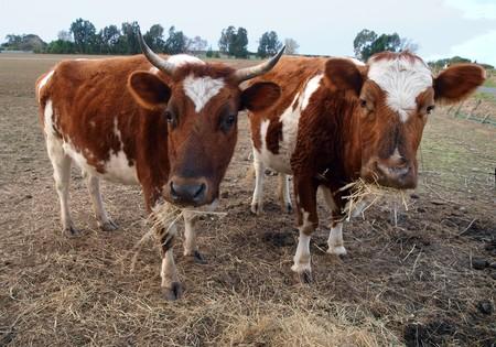 red heifer: Ayrshire dos vacas cu�ntas hay. La vaca anterior muestra el defecto gen�tico de la oreja de Pixies se encuentra s�lo en Ayrshire