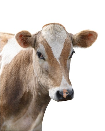 jersey cattle: Jersey Heifer isolated  Stock Photo