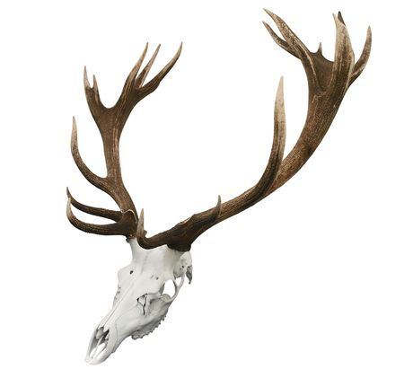 mounted: Gemonteerd Sika Stag Horns