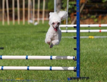 conformation: Caniche blanco saltando por encima de un salto de agilidad