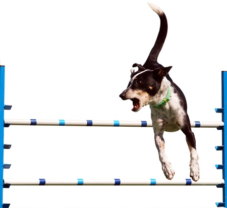 Sheepdog Agility Dog over a Jump Isolated  photo