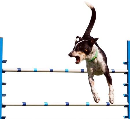 agility dog: Sheepdog Agility Dog over a Jump Isolated