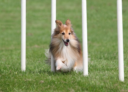 Happy Sheltie going through an Agility Weave Poles photo