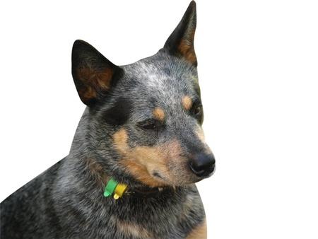 Isolated Head Of an Australian Cattle Dog photo