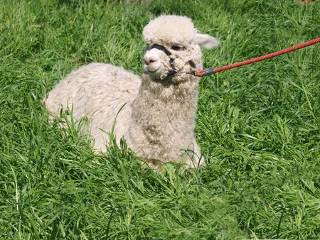 A White Huacaya Alpaca lying in lush green grass photo