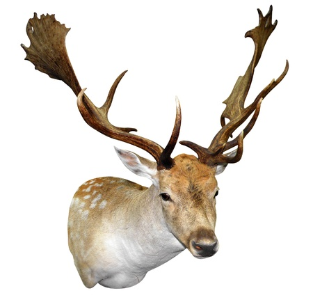fallow deer: A Mounted Fallow Stag Head isolated