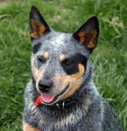 Australian Cattle Dog with Black Eye Patch  photo