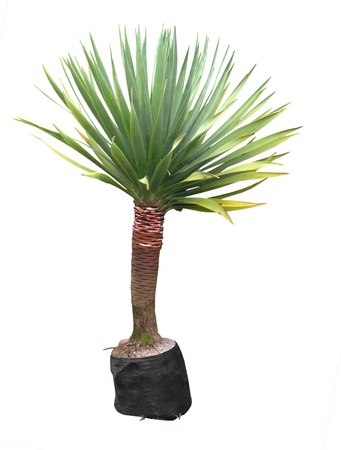 yucca: Small Yucca isolated